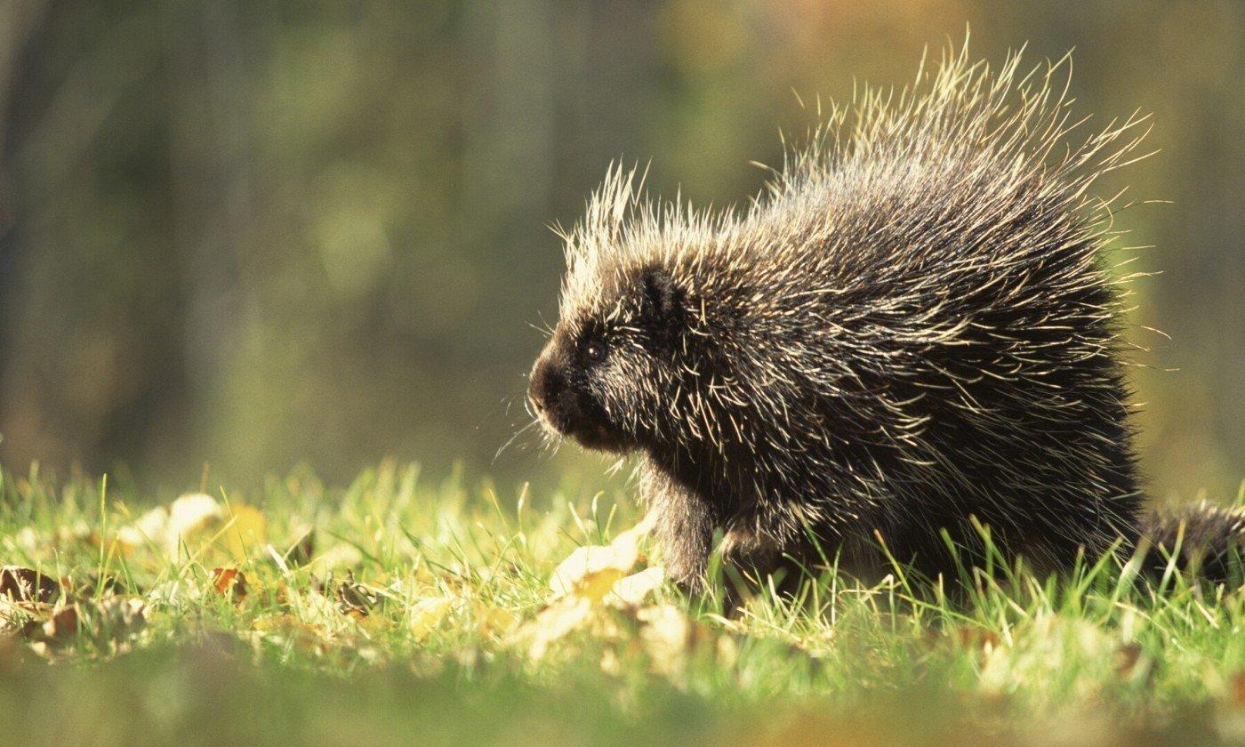 porcupine rescue